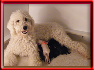 Freja and her goldendoodle puppies