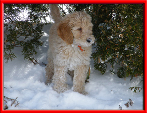Sven was a handsome goldendoodle puppy